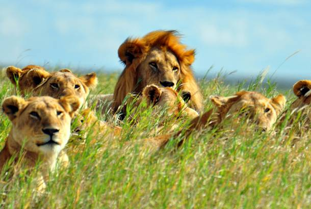 Lions-in-Grass-Africa-Overland-Safaris--Africa-Lodge-Safaris--Africa-Tours--On-The-Go-Tours